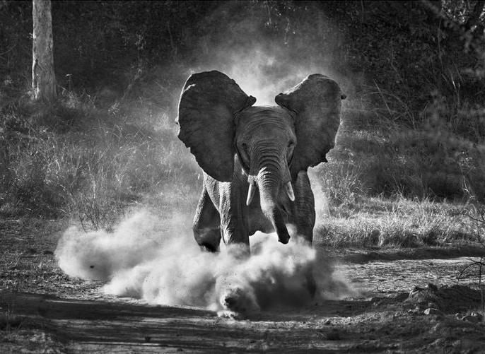 elephantcharge